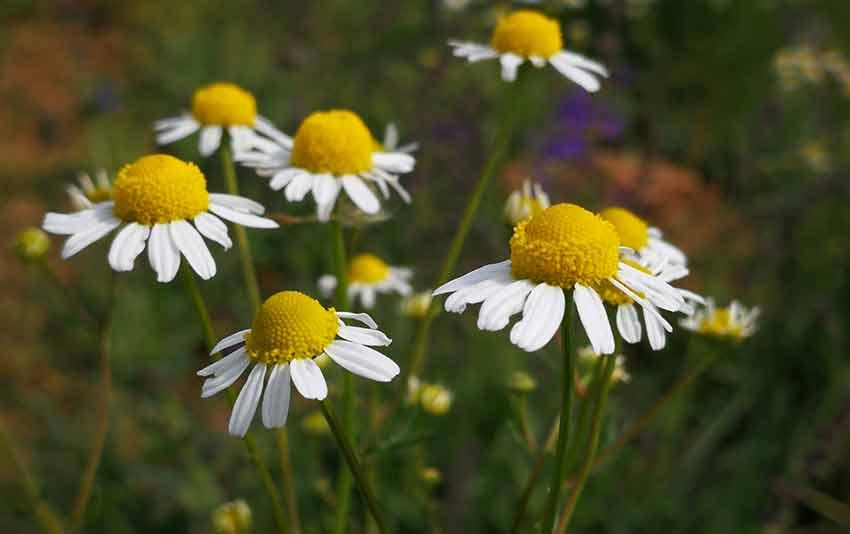 Come curare, coltivare e crescere la Camomilla