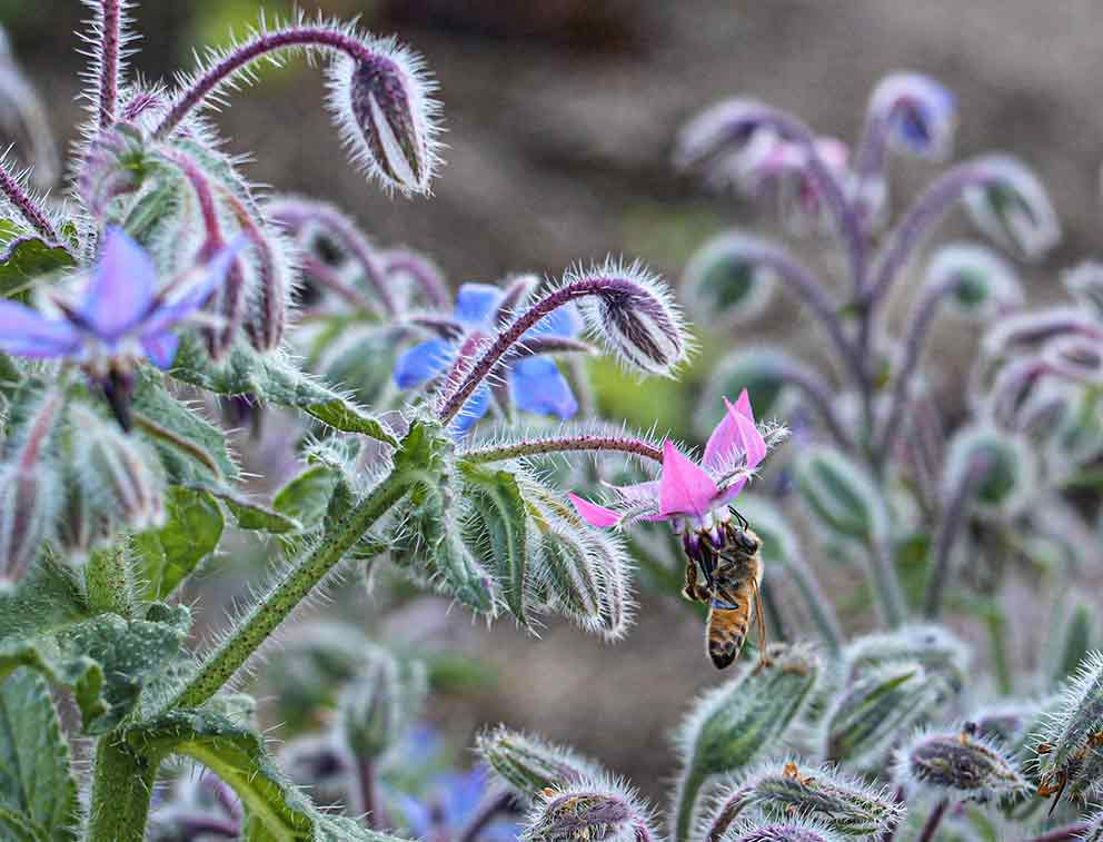 Coltivare la borragine una pianta tenuta in gran conto fra quelle officinali.