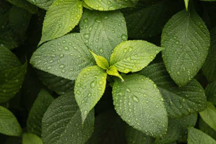 Coltivare la pianta aromatica della menta